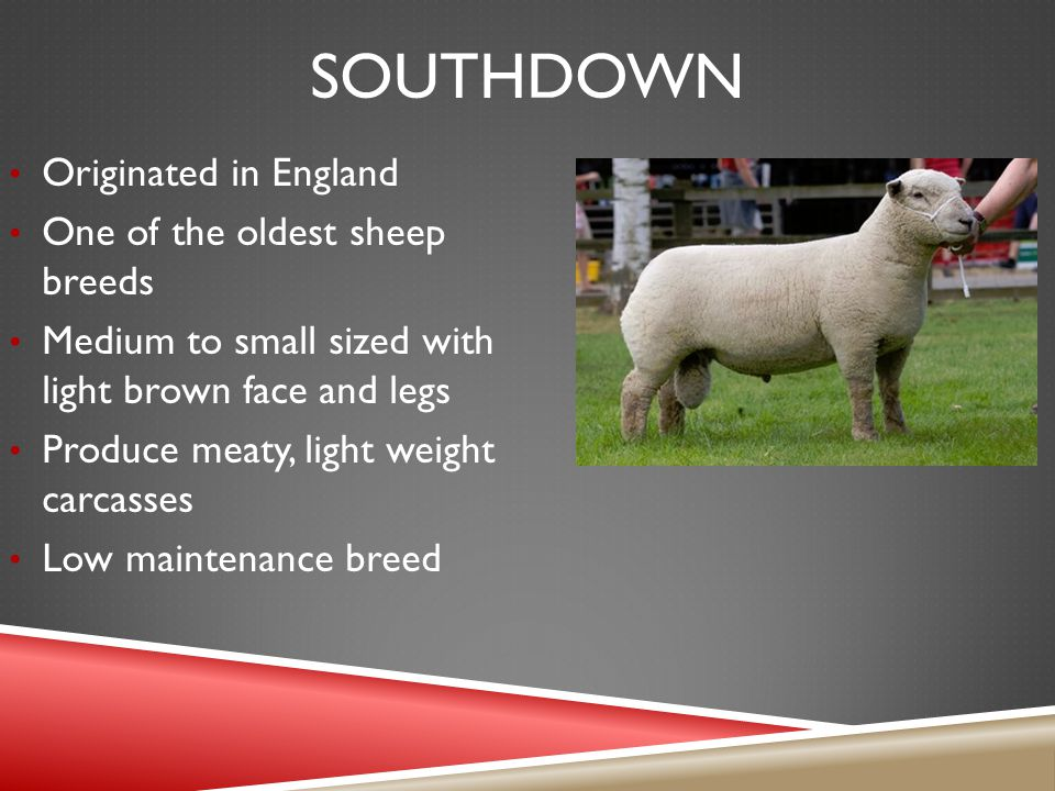SOUTHDOWN Originated in England One of the oldest sheep breeds Medium to small sized with light brown face and legs Produce meaty, light weight carcasses Low maintenance breed