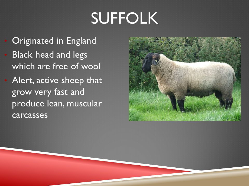 SUFFOLK Originated in England Black head and legs which are free of wool Alert, active sheep that grow very fast and produce lean, muscular carcasses