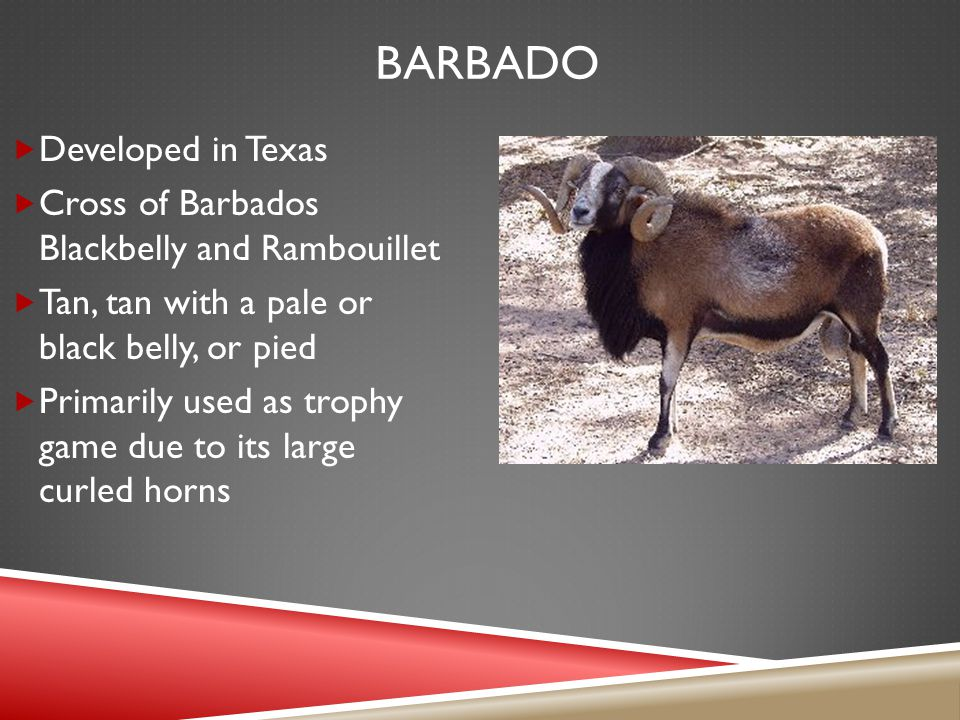 BARBADO  Developed in Texas  Cross of Barbados Blackbelly and Rambouillet  Tan, tan with a pale or black belly, or pied  Primarily used as trophy game due to its large curled horns