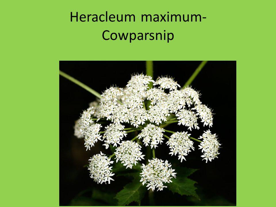 Heracleum maximum- Cowparsnip