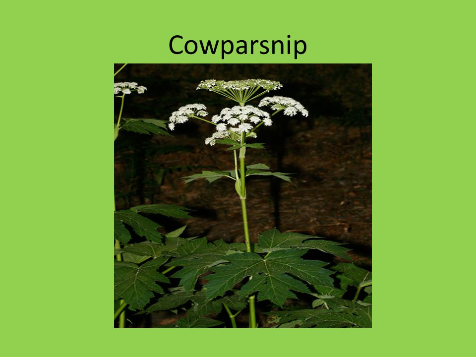 Cowparsnip