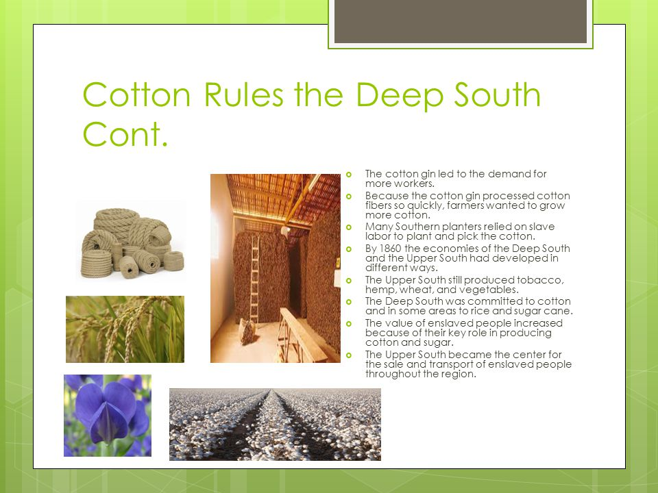 Cotton Rules the Deep South Cont.  The cotton gin led to the demand for more workers.  Because the cotton gin processed cotton fibers so quickly, fa