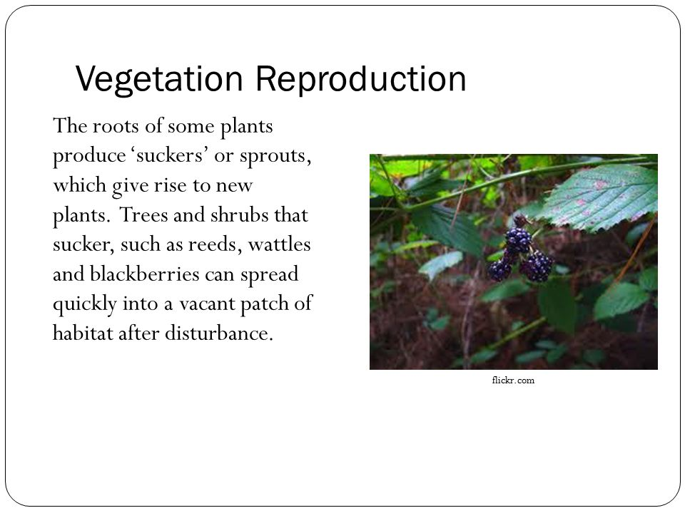Vegetation Reproduction The roots of some plants produce 'suckers' or sprouts, which give rise to new plants. Trees and shrubs that sucker, such as re