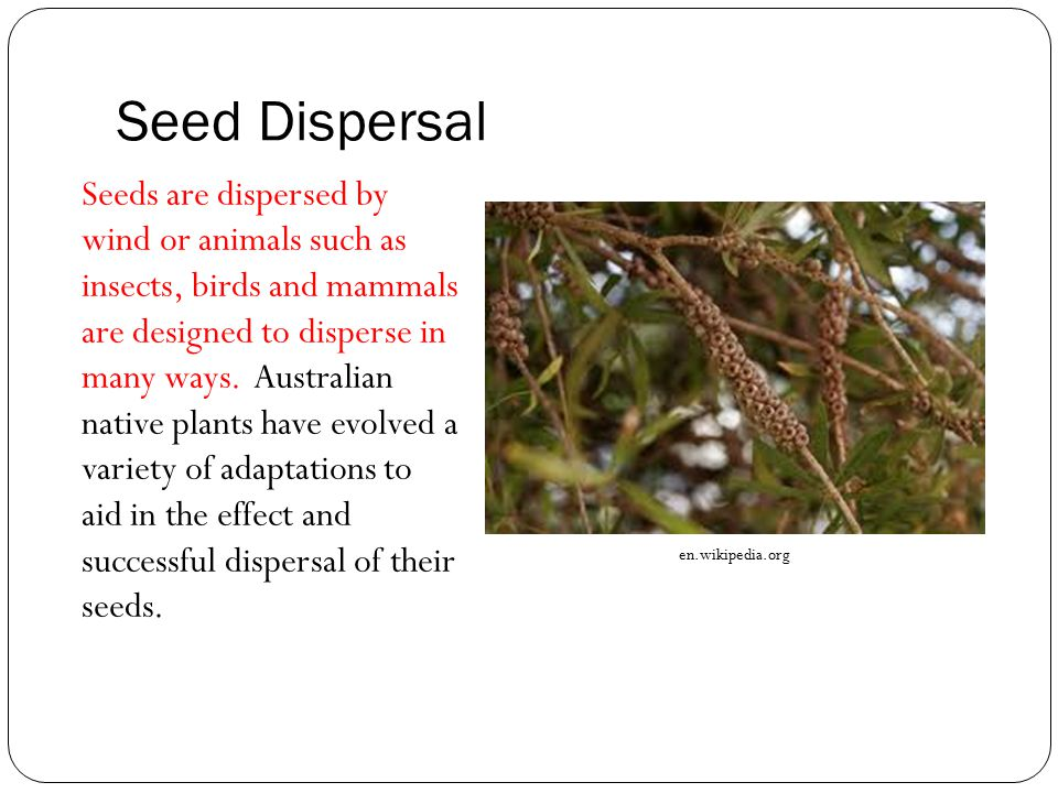 Seed Dispersal Seeds are dispersed by wind or animals such as insects, birds and mammals are designed to disperse in many ways. Australian native plan