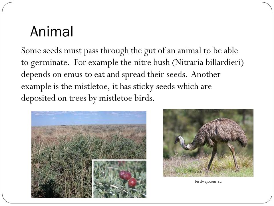 Animal Some seeds must pass through the gut of an animal to be able to germinate. For example the nitre bush (Nitraria billardieri) depends on emus to
