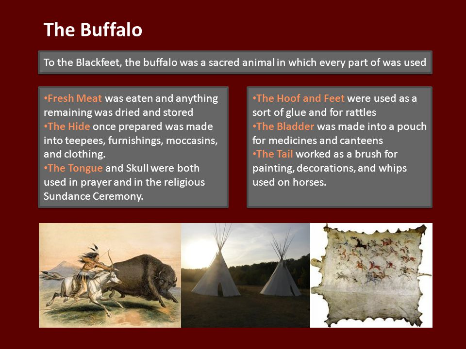 The Buffalo To the Blackfeet, the buffalo was a sacred animal in which every part of was used Fresh Meat was eaten and anything remaining was dried and stored The Hide once prepared was made into teepees, furnishings, moccasins, and clothing.