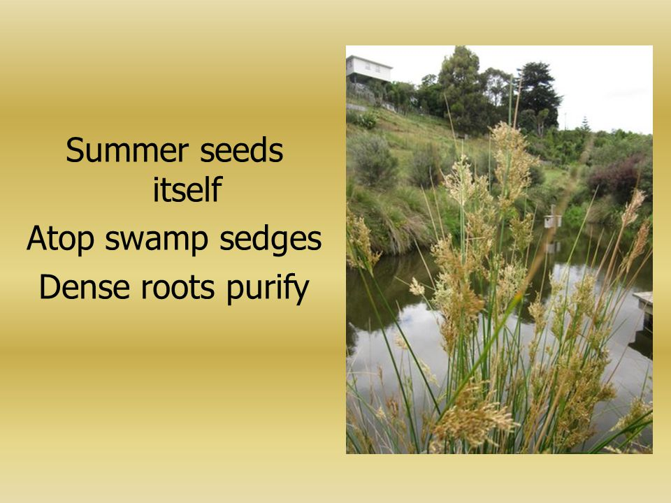 Summer seeds itself Atop swamp sedges Dense roots purify
