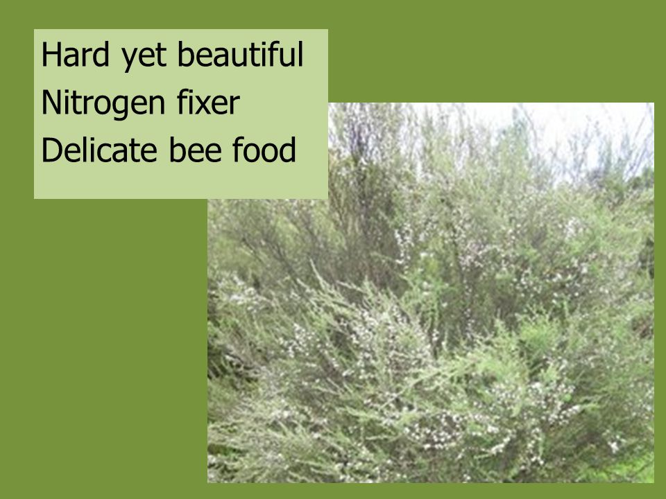Hard yet beautiful Nitrogen fixer Delicate bee food