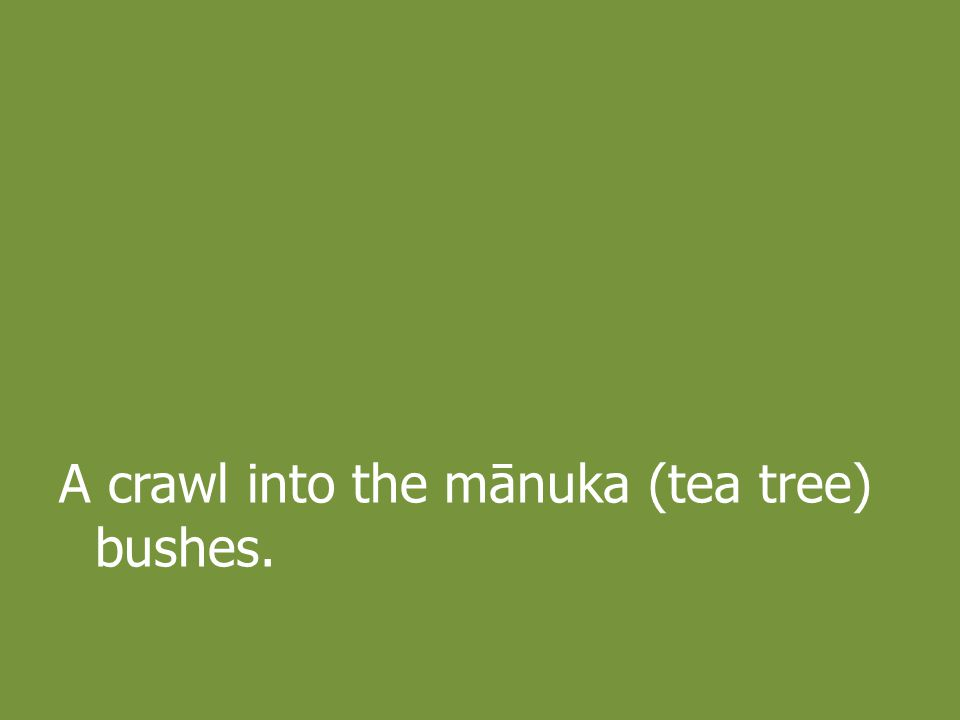 A crawl into the mānuka (tea tree) bushes.