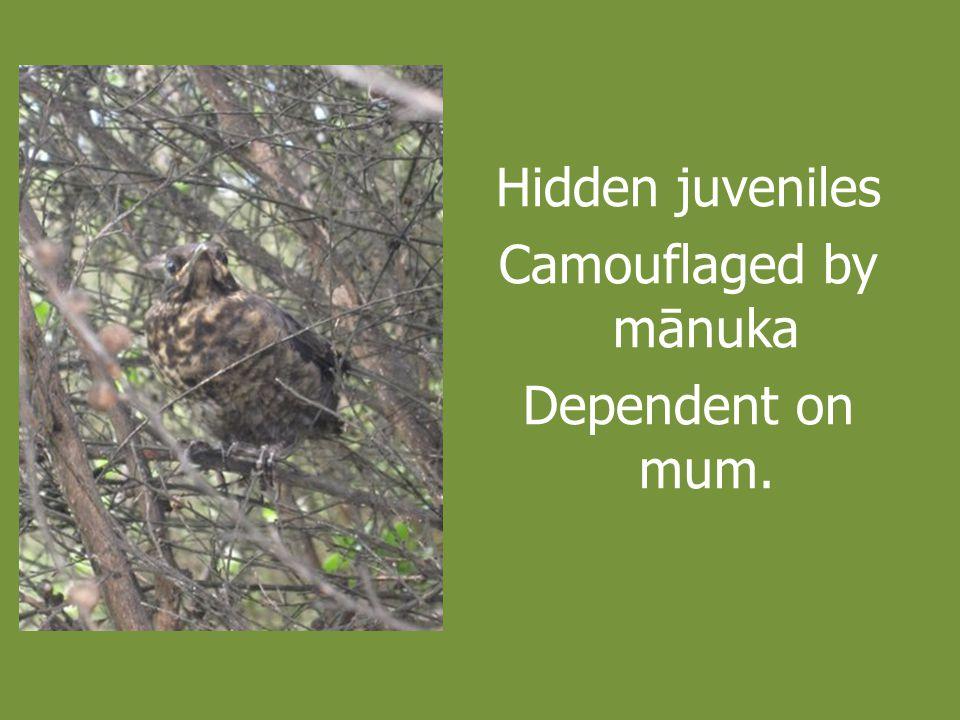 Hidden juveniles Camouflaged by mānuka Dependent on mum.