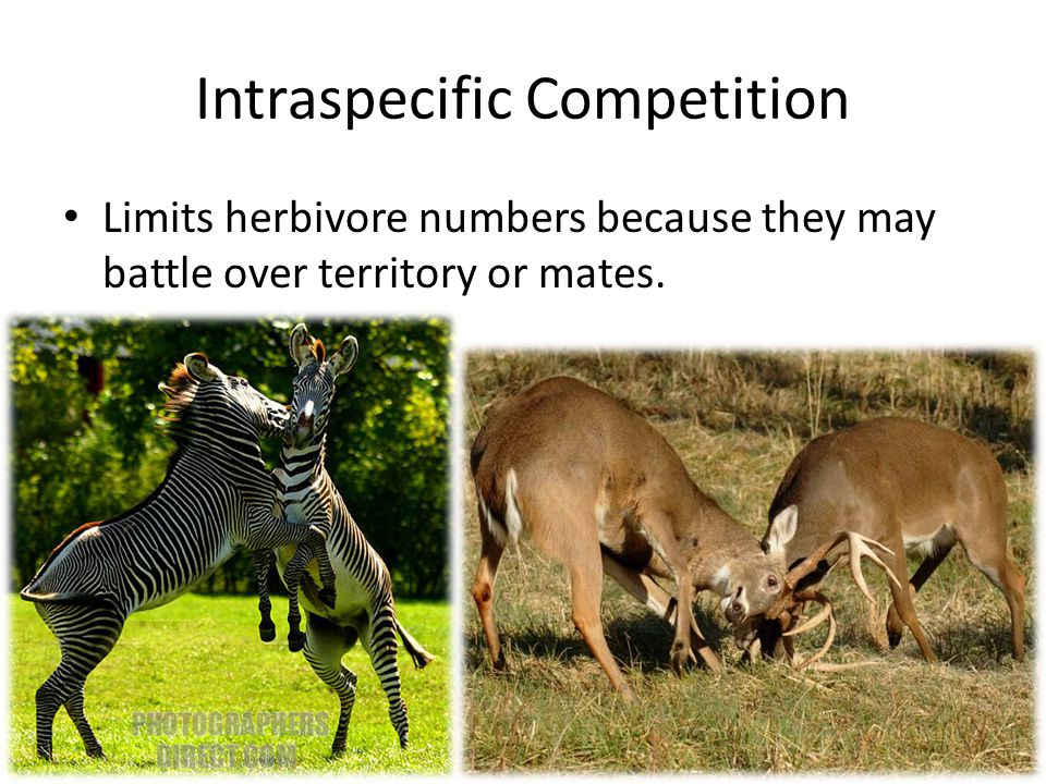 Interspecific Interactions Such as predation and disease will kill herbivore densities in check.