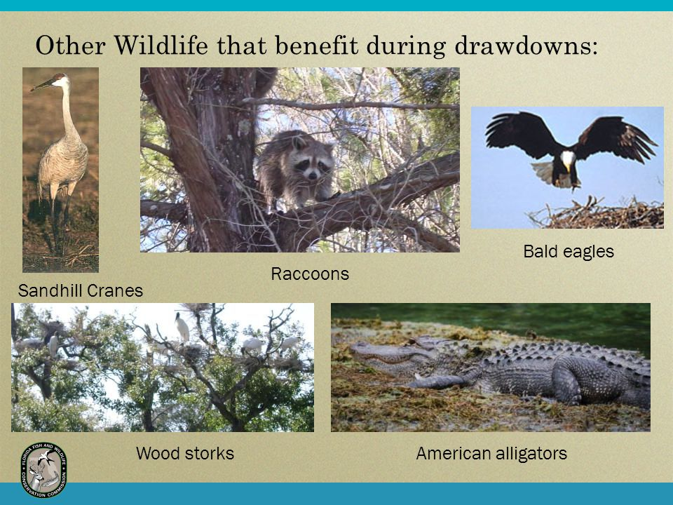 Other Wildlife that benefit during drawdowns: Wood storksAmerican alligators Bald eagles Raccoons Sandhill Cranes