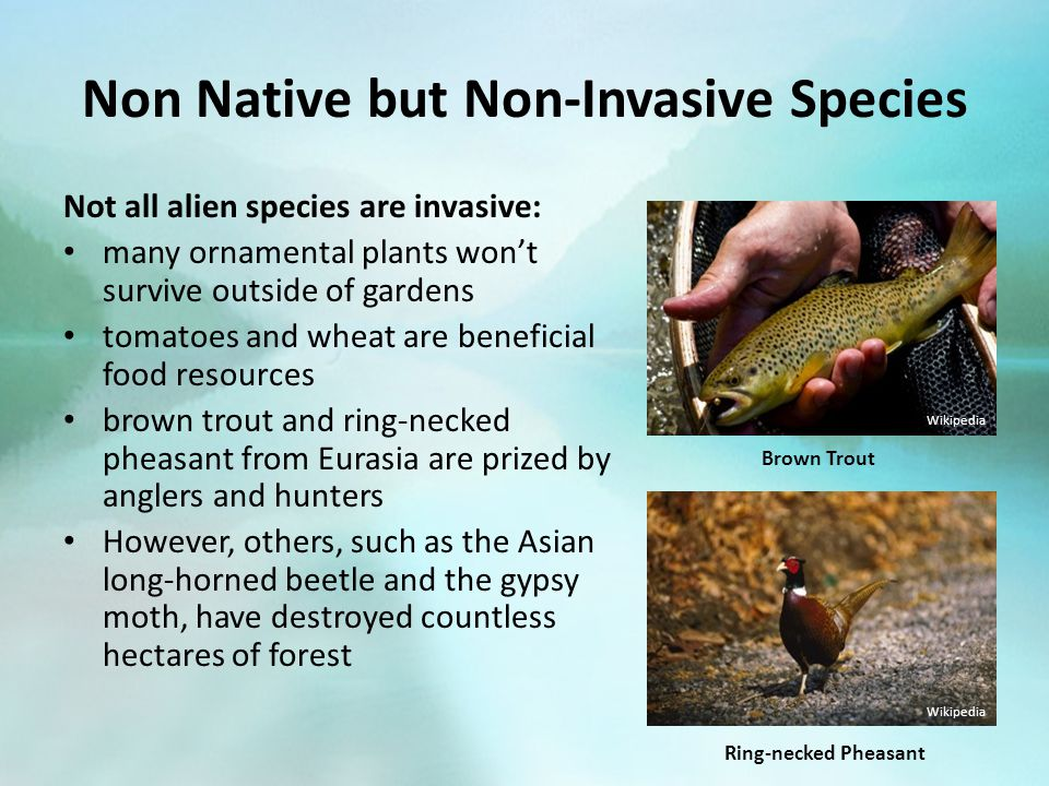 Non Native but Non-Invasive Species Not all alien species are invasive: many ornamental plants won't survive outside of gardens tomatoes and wheat are beneficial food resources brown trout and ring-necked pheasant from Eurasia are prized by anglers and hunters However, others, such as the Asian long-horned beetle and the gypsy moth, have destroyed countless hectares of forest Brown Trout Wikipedia Ring-necked Pheasant Wikipedia
