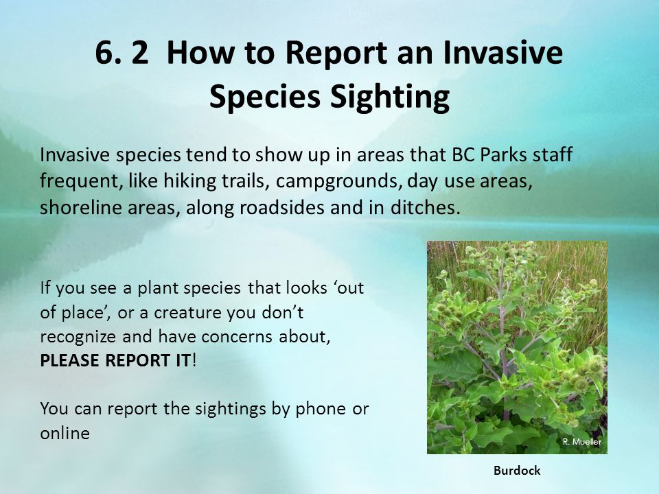 6. 2 How to Report an Invasive Species Sighting Invasive species tend to show up in areas that BC Parks staff frequent, like hiking trails, campground