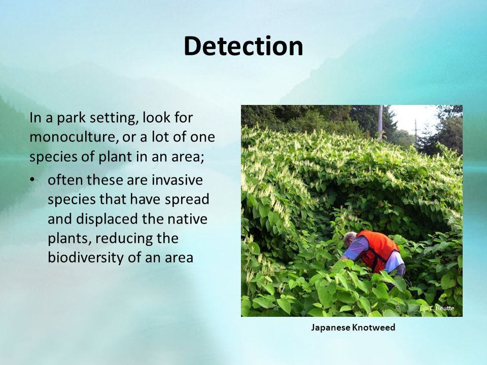 Detection In a park setting, look for monoculture, or a lot of one species of plant in an area; often these are invasive species that have spread and