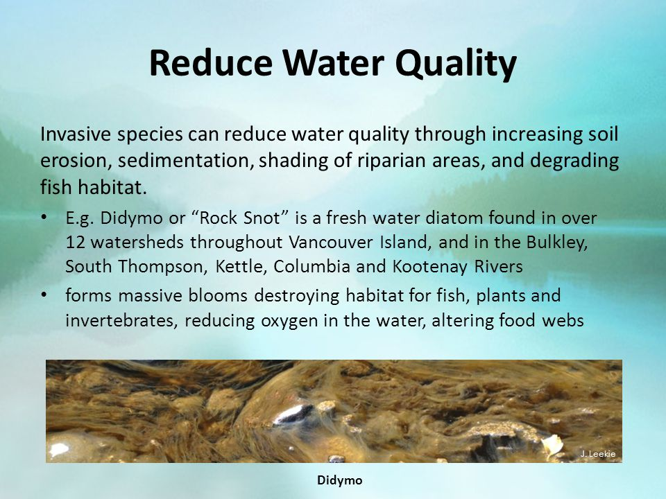 Reduce Water Quality Invasive species can reduce water quality through increasing soil erosion, sedimentation, shading of riparian areas, and degradin