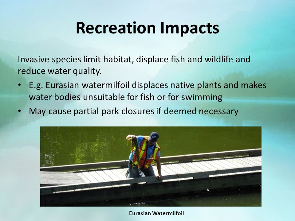 Recreation Impacts Invasive species limit habitat, displace fish and wildlife and reduce water quality. E.g. Eurasian watermilfoil displaces native pl