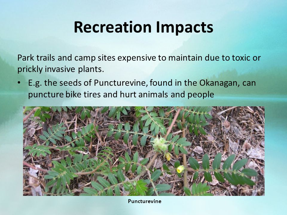 Recreation Impacts Park trails and camp sites expensive to maintain due to toxic or prickly invasive plants.