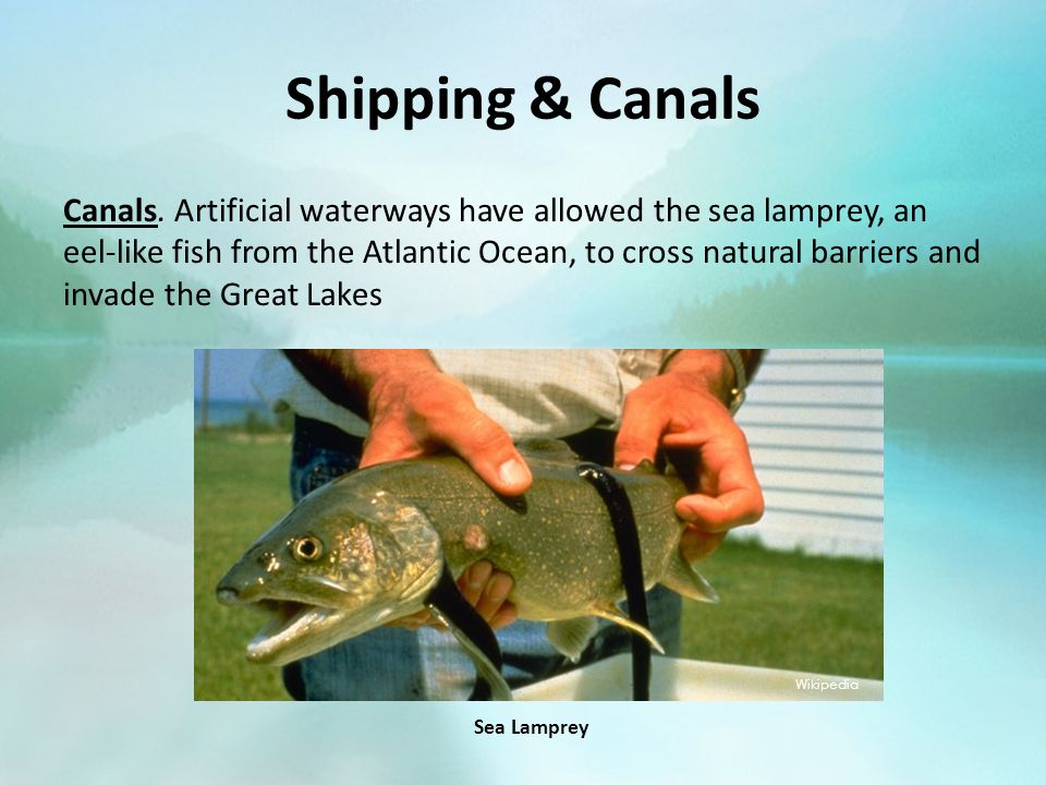 Shipping & Canals Canals. Artificial waterways have allowed the sea lamprey, an eel-like fish from the Atlantic Ocean, to cross natural barriers and i