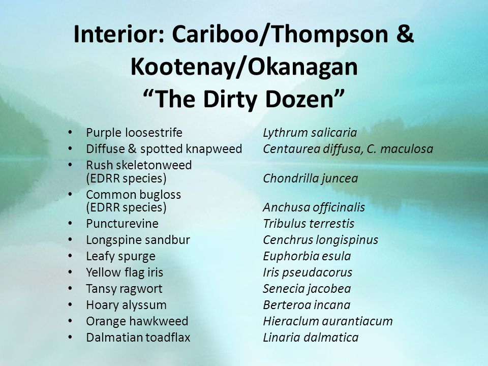 "Interior: Cariboo/Thompson & Kootenay/Okanagan ""The Dirty Dozen"" Purple loosestrife Lythrum salicaria Diffuse & spotted knapweed Centaurea diffusa, C."