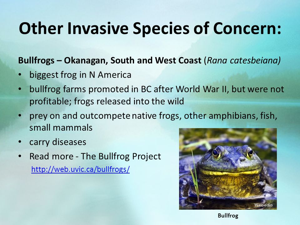 Other Invasive Species of Concern: Bullfrogs – Okanagan, South and West Coast (Rana catesbeiana) biggest frog in N America bullfrog farms promoted in BC after World War II, but were not profitable; frogs released into the wild prey on and outcompete native frogs, other amphibians, fish, small mammals carry diseases Read more - The Bullfrog Project http://web.uvic.ca/bullfrogs/ Wikipedia Bullfrog