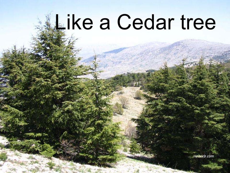 Like a Cedar tree