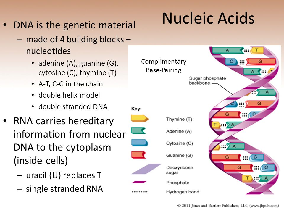 Nucleic Acids DNA is the genetic material – made of 4 building blocks – nucleotides adenine (A), guanine (G), cytosine (C), thymine (T) A-T, C-G in the chain double helix model double stranded DNA RNA carries hereditary information from nuclear DNA to the cytoplasm (inside cells) – uracil (U) replaces T – single stranded RNA Complimentary Base-Pairing