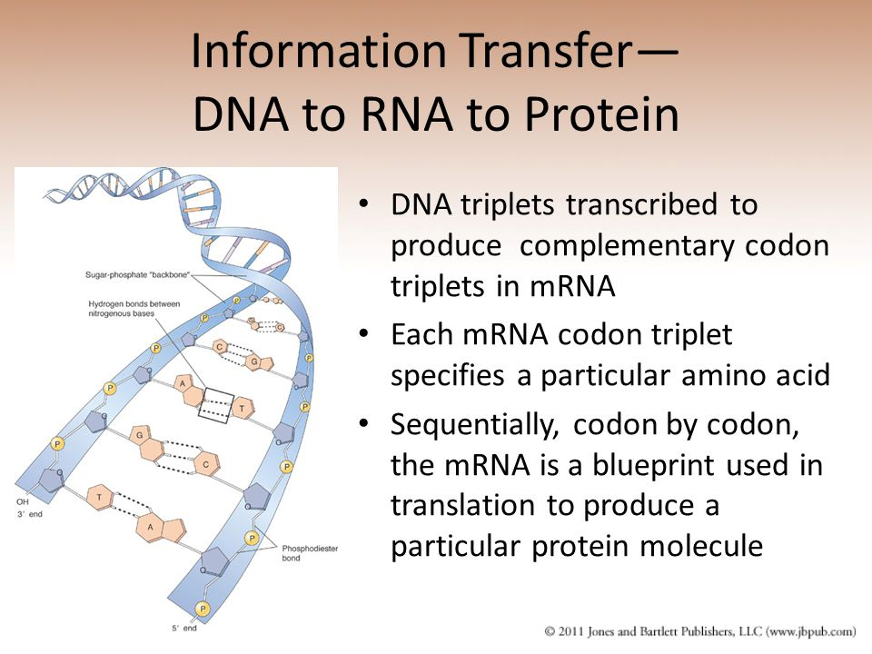 Information Transfer— DNA to RNA to Protein DNA triplets transcribed to produce complementary codon triplets in mRNA Each mRNA codon triplet specifies a particular amino acid Sequentially, codon by codon, the mRNA is a blueprint used in translation to produce a particular protein molecule