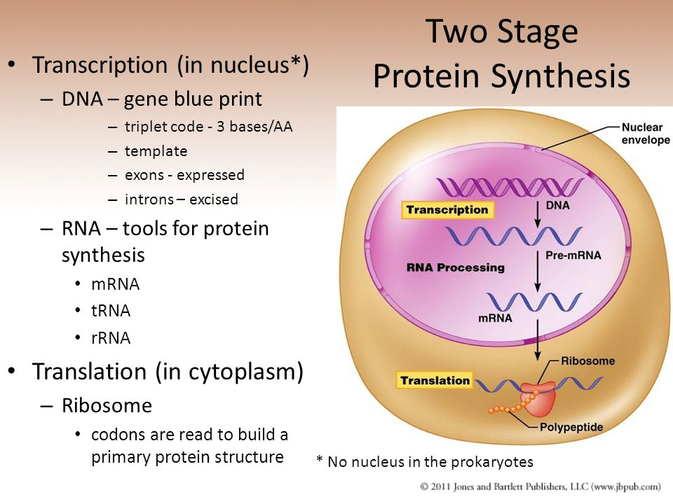 Two Stage Protein Synthesis Transcription (in nucleus*) – DNA – gene blue print – triplet code - 3 bases/AA – template – exons - expressed – introns – excised – RNA – tools for protein synthesis mRNA tRNA rRNA Translation (in cytoplasm) – Ribosome codons are read to build a primary protein structure * No nucleus in the prokaryotes