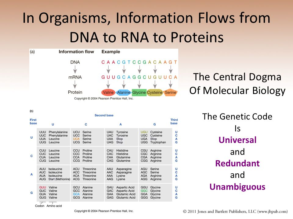 In Organisms, Information Flows from DNA to RNA to Proteins The Central Dogma Of Molecular Biology The Genetic Code Is Universal and Redundant and Unambiguous
