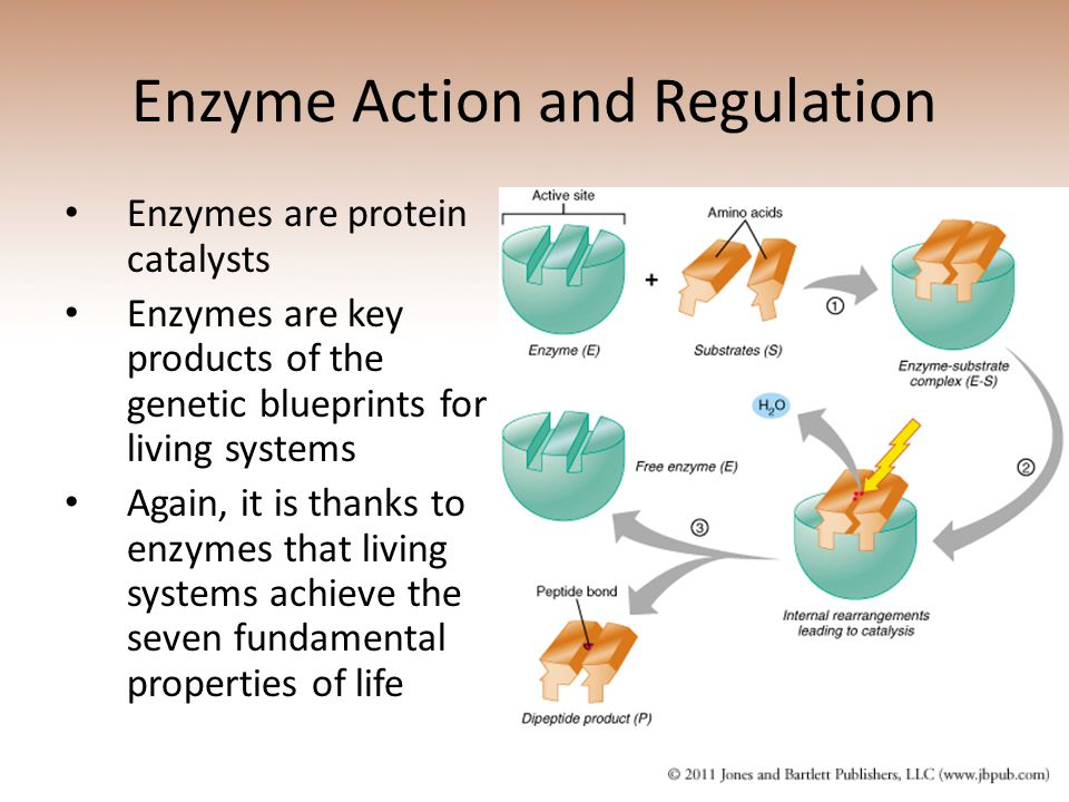 Enzyme Action and Regulation Enzymes are protein catalysts Enzymes are key products of the genetic blueprints for living systems Again, it is thanks to enzymes that living systems achieve the seven fundamental properties of life