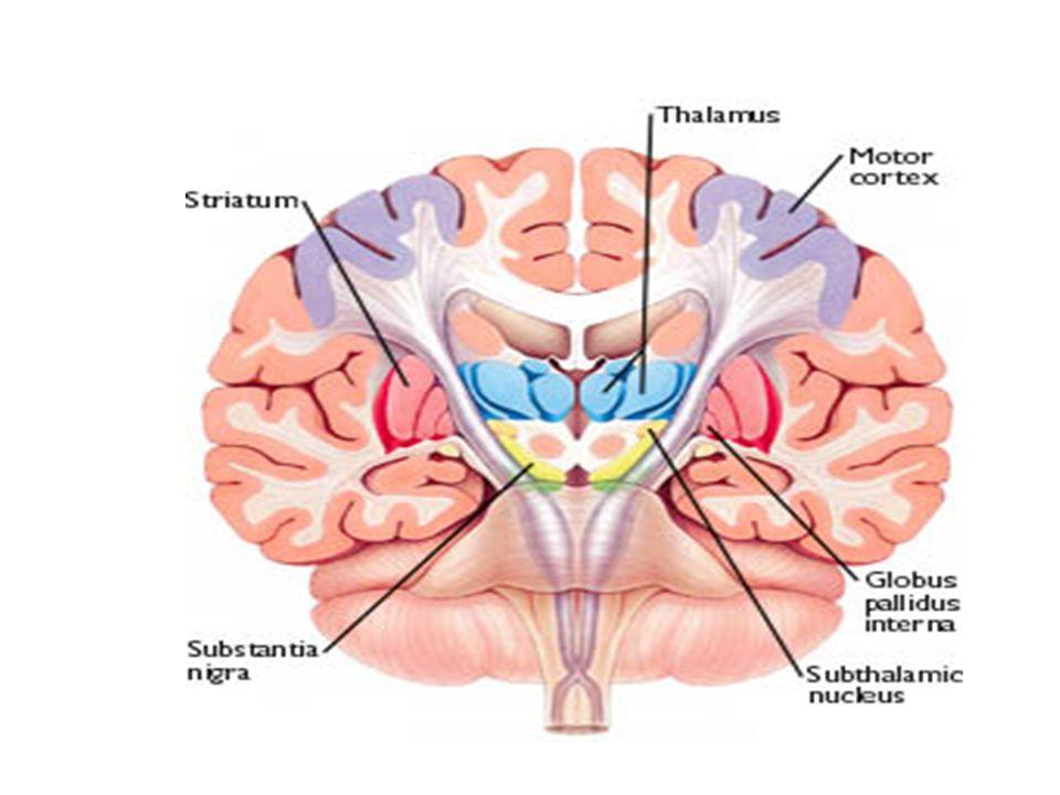 Neurological Basis PARKINSON'S BRAIN FUNCTION–Basal Ganglia Cells of substantia nigra degenerate These cells can no longer produce adequate amounts of dopamine Neurons of striatum, etc.