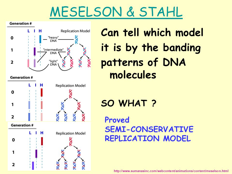 MESELSON & STAHL Can tell which model it is by the banding patterns of DNA molecules SO WHAT .