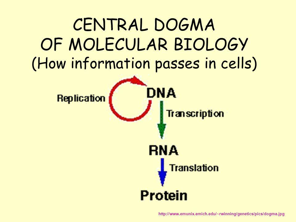 CENTRAL DOGMA OF MOLECULAR BIOLOGY (How information passes in cells) http://www.emunix.emich.edu/~rwinning/genetics/pics/dogma.jpg