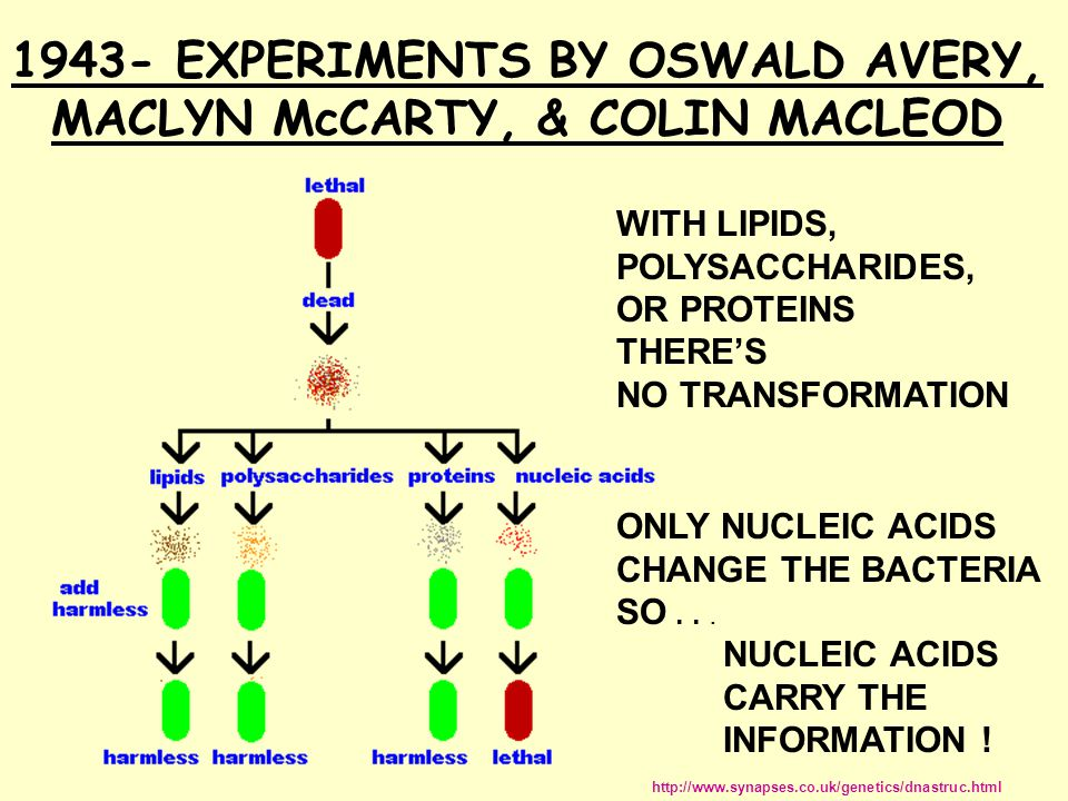 1943- EXPERIMENTS BY OSWALD AVERY, MACLYN McCARTY, & COLIN MACLEOD http://www.synapses.co.uk/genetics/dnastruc.html WITH LIPIDS, POLYSACCHARIDES, OR PROTEINS THERE'S NO TRANSFORMATION ONLY NUCLEIC ACIDS CHANGE THE BACTERIA SO...