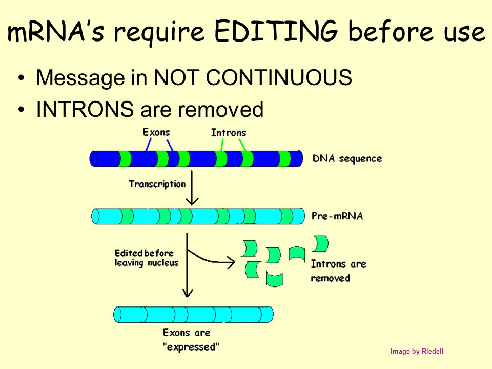 mRNA's require EDITING before use Message in NOT CONTINUOUS INTRONS are removed Image by Riedell