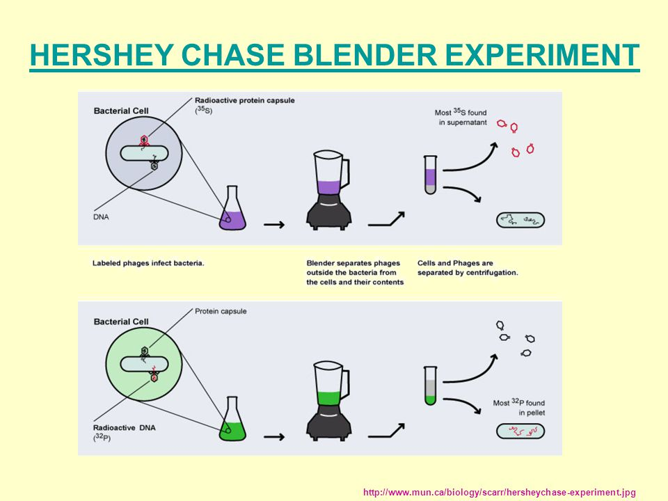 HERSHEY CHASE BLENDER EXPERIMENT http://www.mun.ca/biology/scarr/hersheychase-experiment.jpg
