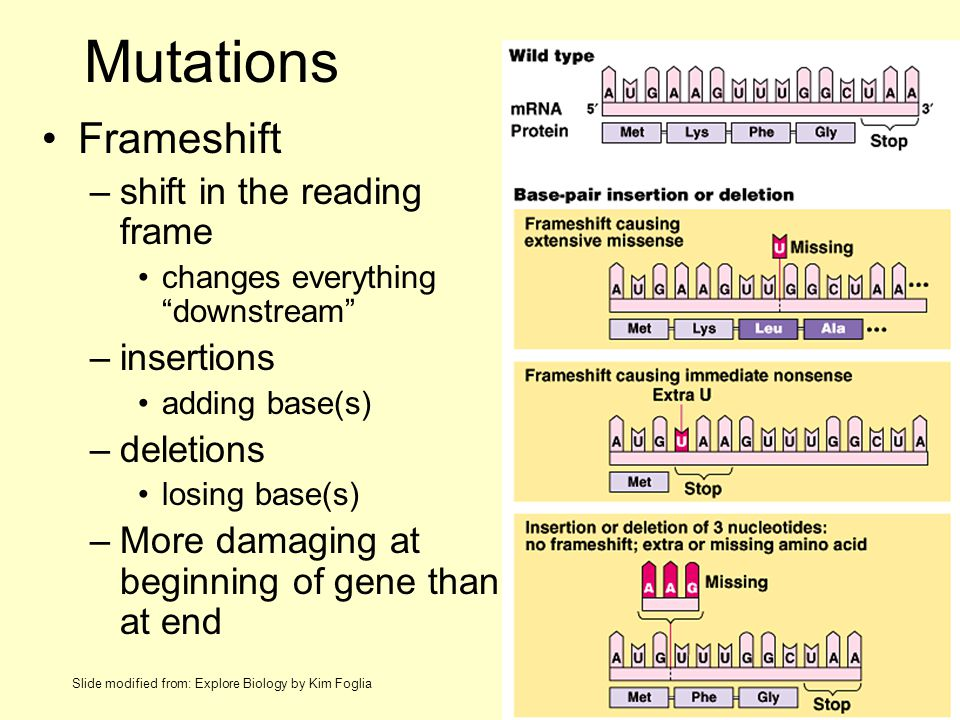 Mutations Frameshift –shift in the reading frame changes everything downstream –insertions adding base(s) –deletions losing base(s) –More damaging at beginning of gene than at end Slide modified from: Explore Biology by Kim Foglia