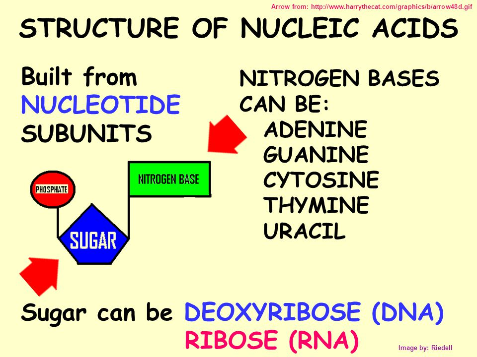STRUCTURE OF NUCLEIC ACIDS Image by: Riedell Sugar can be DEOXYRIBOSE (DNA) RIBOSE (RNA) Built from NUCLEOTIDE SUBUNITS NITROGEN BASES CAN BE: ADENINE GUANINE CYTOSINE THYMINE URACIL Arrow from: http://www.harrythecat.com/graphics/b/arrow48d.gif