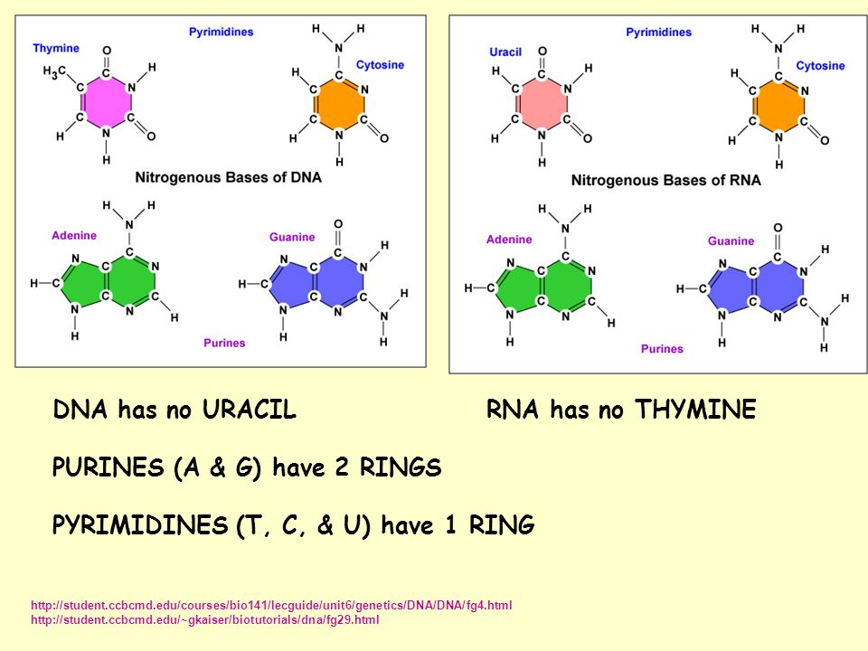 DNA has no URACILRNA has no THYMINE PURINES (A & G) have 2 RINGS PYRIMIDINES (T, C, & U) have 1 RING http://student.ccbcmd.edu/courses/bio141/lecguide/unit6/genetics/DNA/DNA/fg4.html http://student.ccbcmd.edu/~gkaiser/biotutorials/dna/fg29.html