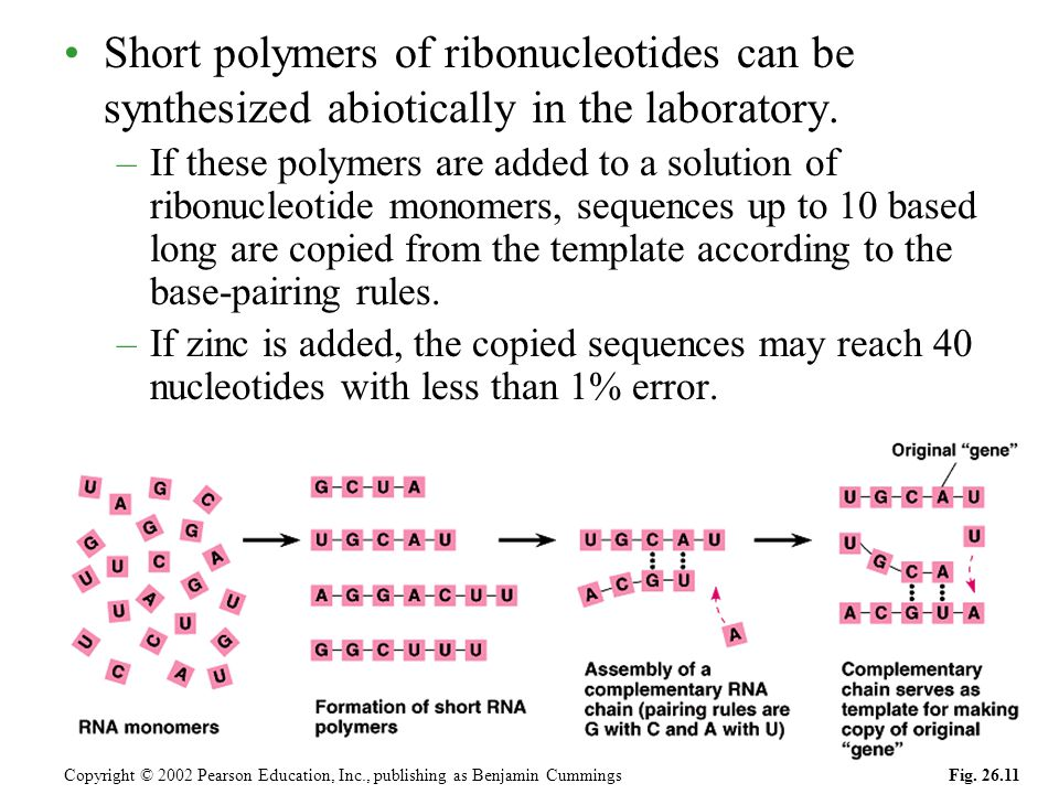 Short polymers of ribonucleotides can be synthesized abiotically in the laboratory. –If these polymers are added to a solution of ribonucleotide monom