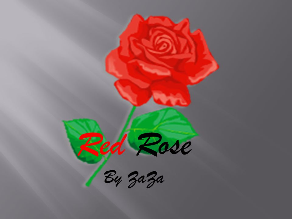 Red Rose By ZaZa