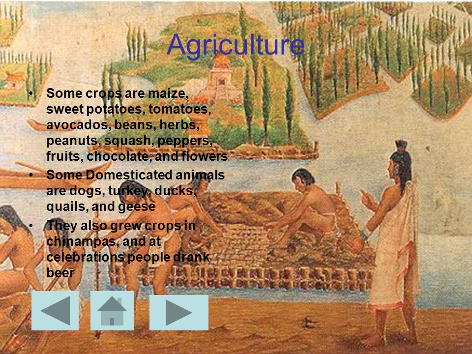 Agriculture Some crops are maize, sweet potatoes, tomatoes, avocados, beans, herbs, peanuts, squash, peppers, fruits, chocolate, and flowers Some Domesticated animals are dogs, turkey, ducks, quails, and geese They also grew crops in chinampas, and at celebrations people drank beer