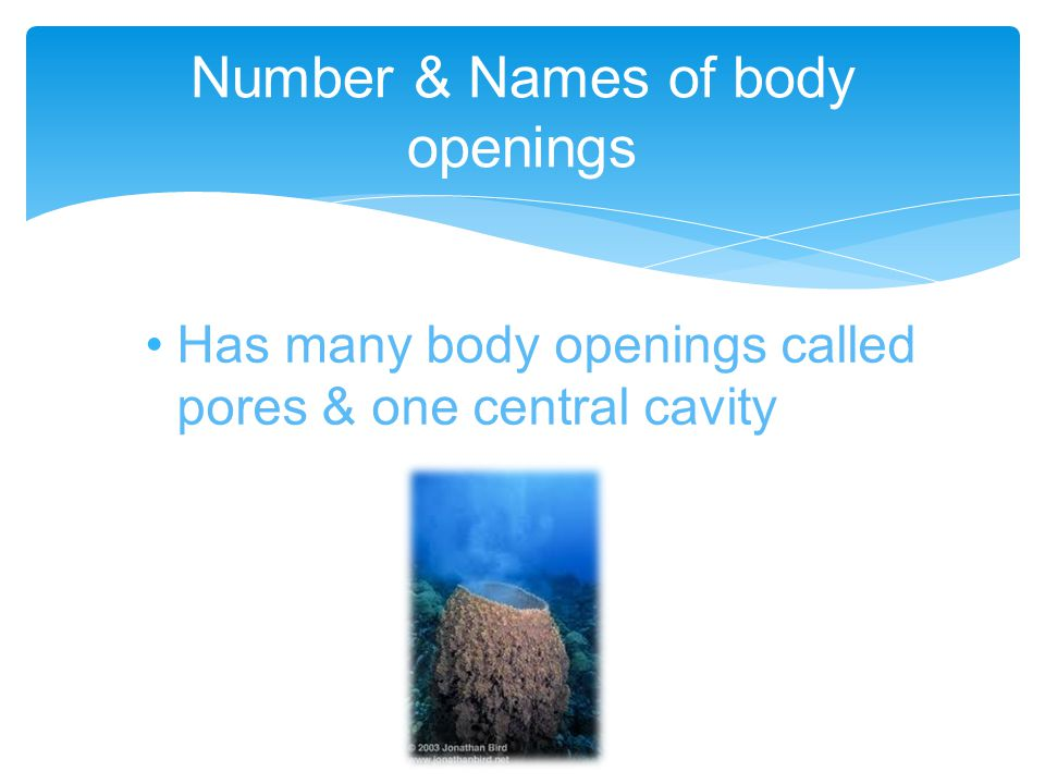 Has many body openings called pores & one central cavity Number & Names of body openings