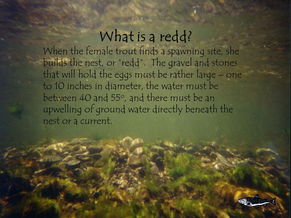 What is a redd. When the female trout finds a spawning site, she builds the nest, or redd .