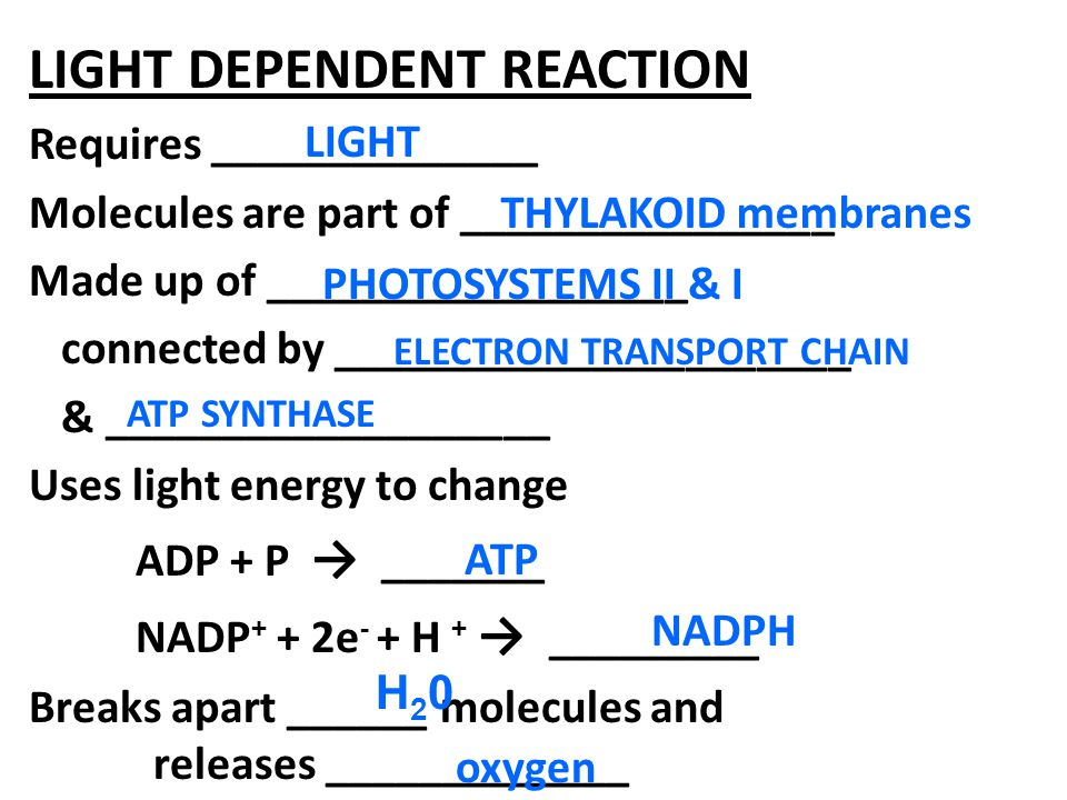 LIGHT DEPENDENT REACTION Requires ______________ Molecules are part of ________________ Made up of __________________ connected by ______________________ & ___________________ Uses light energy to change ADP + P → _______ NADP + + 2e - + H + → _________ Breaks apart ______ molecules and releases _____________ LIGHT ATP THYLAKOID membranes PHOTOSYSTEMS II & I ELECTRON TRANSPORT CHAIN NADPH H20H20 oxygen ATP SYNTHASE