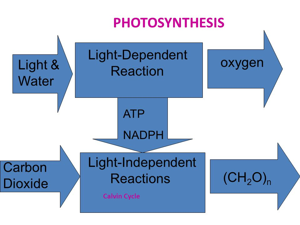 PHOTOSYNTHESIS Light-Dependent Reaction Light-Independent Reactions Light & Water oxygen ATP NADPH Carbon Dioxide (CH 2 O) n Calvin Cycle