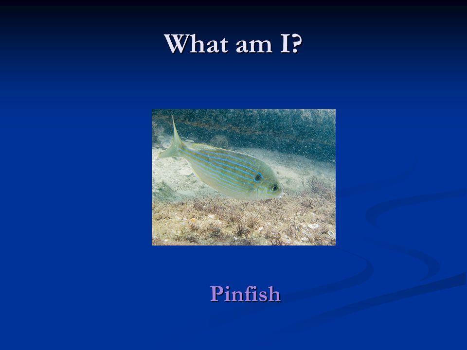 What am I Pinfish