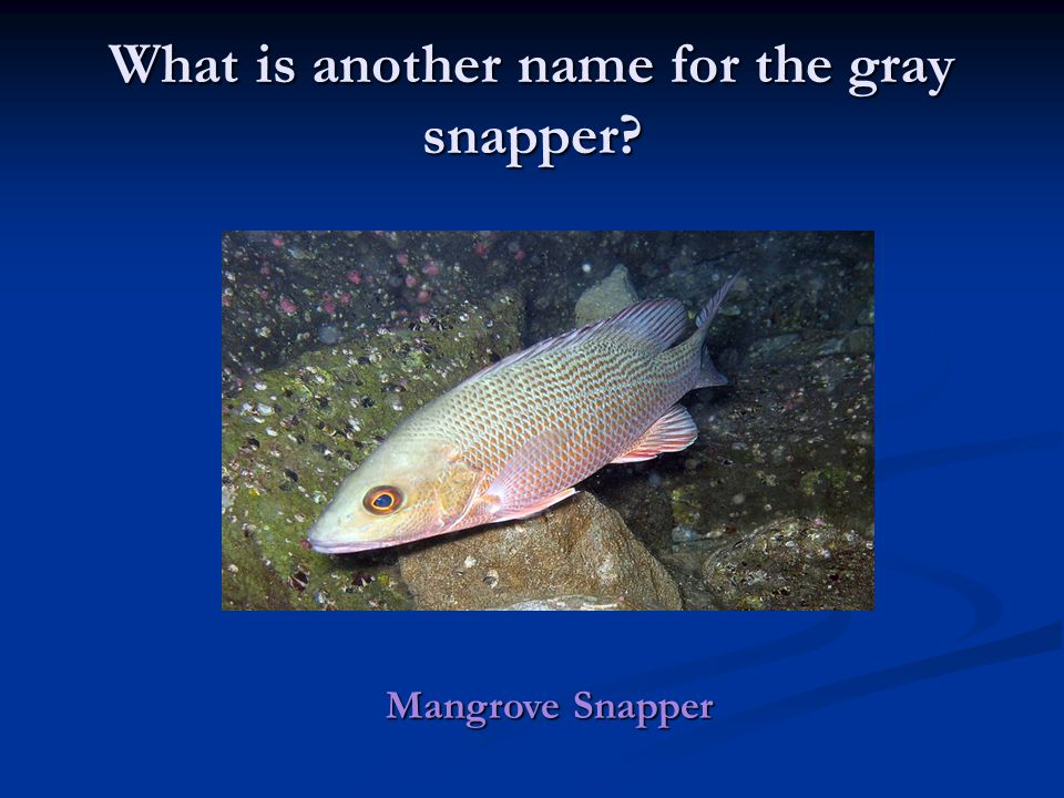 What is another name for the gray snapper Mangrove Snapper
