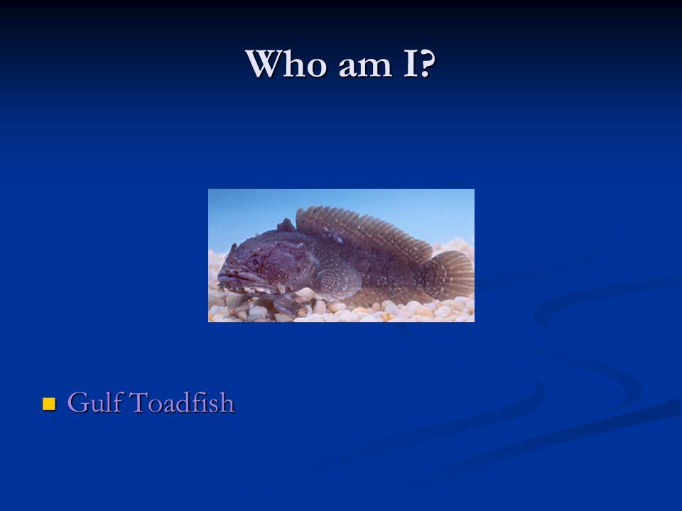 Who am I Gulf Toadfish Gulf Toadfish